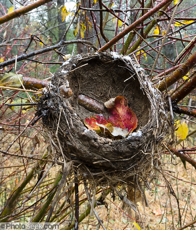 An empty bird nest (probably robin) droops at the end of nesting season at Happy Isles in Yosemite National Park, Sierra Nevada, California, USA.