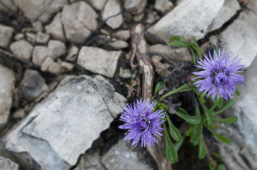 Globularia cordifolia; Globe Daisy, Augstenberg, Liechtenstein