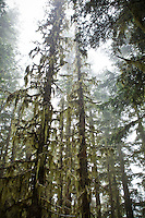 Old growth trees in the fog, Mount Rainier National Park, Washington, USA.