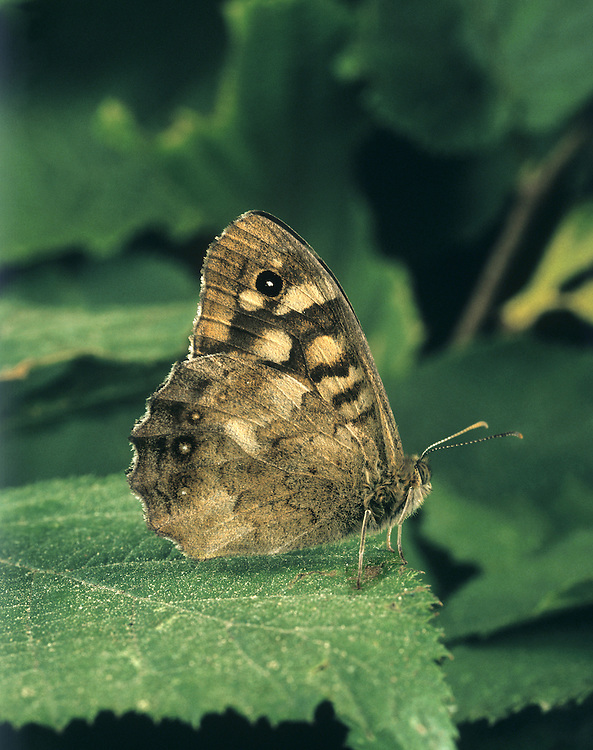 Speckled Wood Pararge aegeria Wingspan 45mm. A familiar woodland and hedgerow butterfly that favours sunny glades; fond of basking. Adult has dark brown upperwings with pale markings; underwings are rufous brown with similar pattern to that seen on upperwings. Double-brooded: adults fly April–June and July–September. Larva feeds on grasses and is strictly nocturnal. Widespread but common only in southern England; local or absent further north and in Ireland.