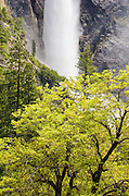 Bridalveil Fall and oak tree, Yosemite National Park, California USA