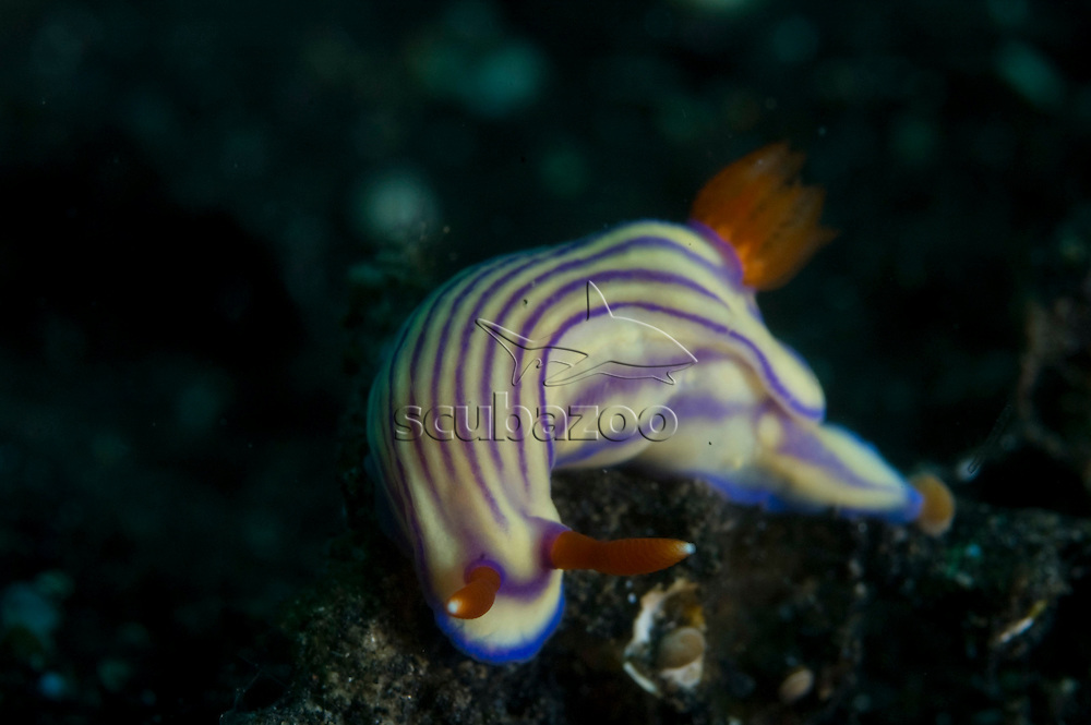 Nudibranch, Hypselodoris mouaci, Kungkungan Bay Resort, Lembeh Strait, North Sulawesi, Indonesia.