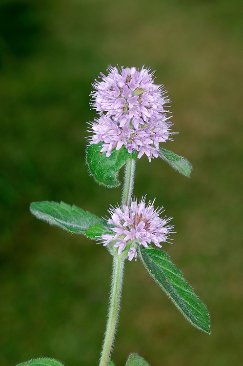 WATER MINT Mentha aquatica (Lamiaceae) Height to 50cm<br /> Variable, hairy and stiff- and reddish-stemmed perennial that smells strongly of mint. Found On damp ground, sometimes growing in shallow, standing water. FLOWERS are 3-4mm long and lilac-pink; borne in dense, terminal heads up to 2cm long, and a few sub-terminal whorls (Jul-Oct). Flowers are popular with insects. FRUITS are nutlets. LEAVES are oval and toothed. STATUS-Widespread and common throughout the region.