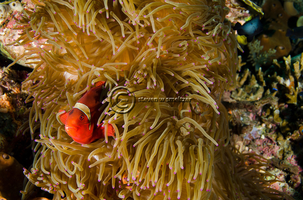 Spine-cheek Anemonefish, Premnas biaculeatus, Bali Indonesia