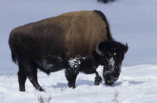 Bison, (Bison bison) Yellowstone National Park in winter.