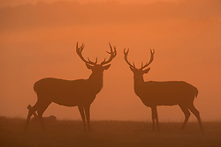 © Licensed to London News Pictures. 20/09/2015. Richmond, UK . Deer grazing at sunrise early in the morning at Richmond park in West London as Autumn approaches. . Photo credit : Ian Schofield/LNP