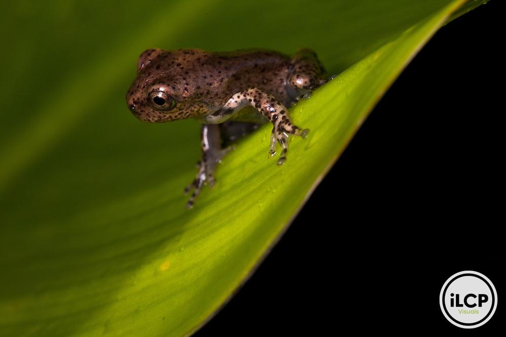 Juvenile Hispaniola laughing frog, Osteopilus dominicensis, in Macaya Biosphere Reserve, Massif de la Hotte, Haiti