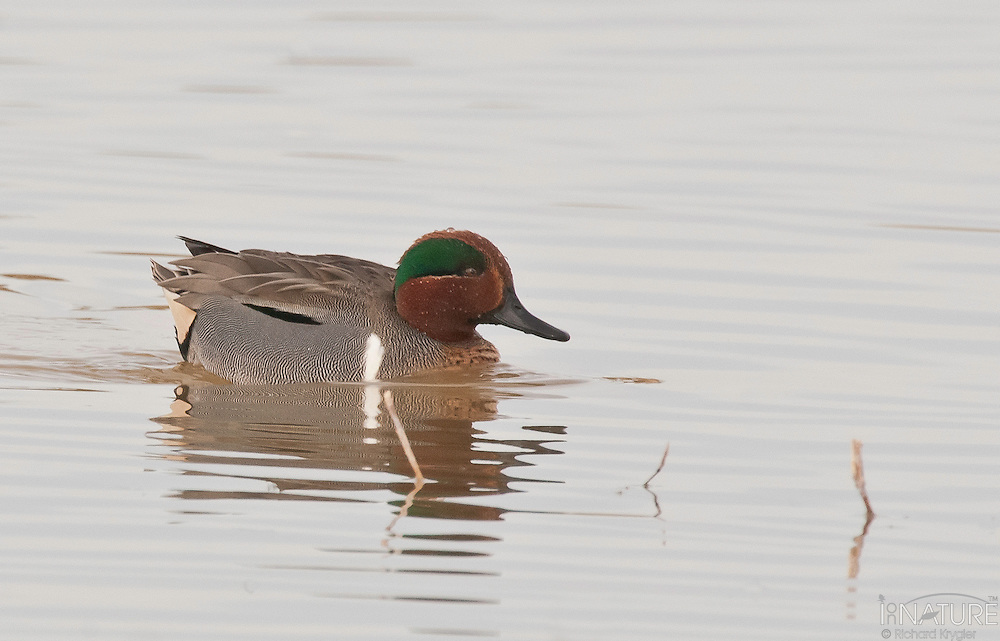 Green-winged teal drake on the water.
