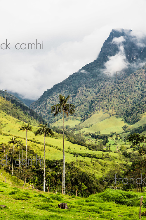 El Bosque de Las Palmas Landscapes of  palm trees in Valley Cocora  near Salento Quindio in Colombia South America
