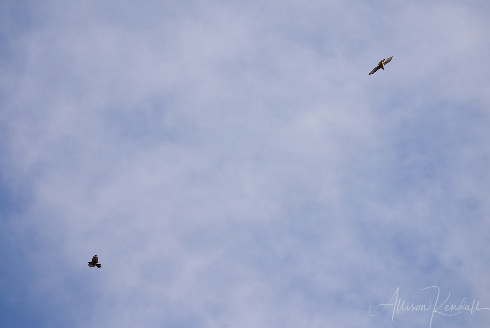 A pair of hawks circle in a blue sky with light clouds above.