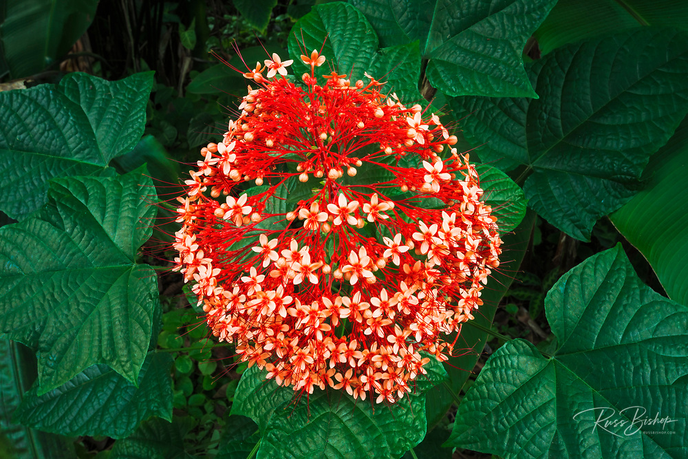 Australian Flame Tree at Hawaii Tropical Botanical Garden, Hamakua Coast, The Big Island, Hawaii USA