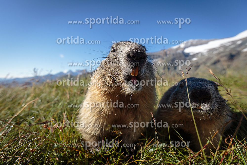 THEMENBILD - zwei Murmeltiere auf der Grossglockner Hochalpenstrasse, dahinter das Grossglockner Massiv, Heiligenblut, Oesterreich, aufgenommen am 31. Juli 2015 // Two marmots in front of the Grossglockner massif at the Grossglockner High Alpine Road, Heiligenblut, Austria on 2015/07/31. EXPA Pictures © 2015, PhotoCredit: EXPA/ JFK