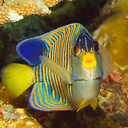 Regal Angelfish inhabit reefs. Picture taken West Papua; Raja Ampat