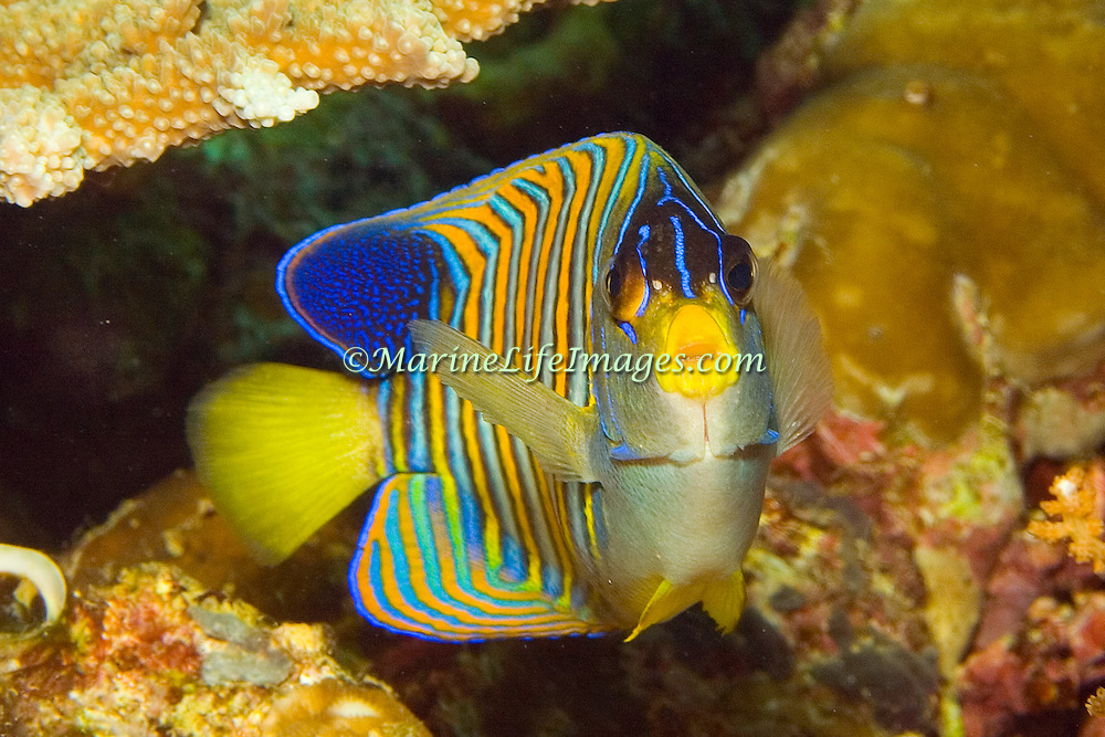 Regal Angelfish inhabit reefs. Picture taken West Papua; Raja Ampat