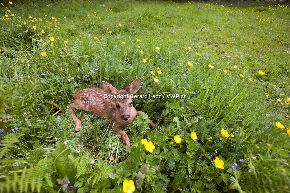 Roe Deer, capreolus capreolus, Fawn laying on Flowers, Normandy