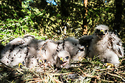 Jedburgh, Scottish Borders, UK. 18th June 2017. A family of four Goshawk chicks in their nest high up a tree in the Scottish Borders. The birds were being ringed in order to monitor population levels and behaviour patterns. There are less Goshawks than Golden Eagles in Scotland due to illegal persecution.