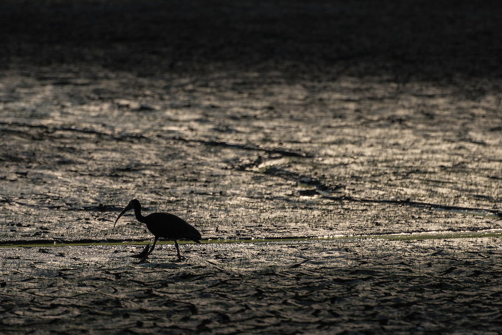 In the shade, an Ibis is wading through the mud in search of small insects, Cuyabeno Reserve, Ecuador.