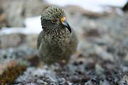 Kea (Nestor notabilis) Arthur's Pass, New Zealand | Kea oder Bergpapagei (Nestor notabilis); Wählerisch schaut der Kea auf den Boden um sich für die nächste Beere zu entscheiden. Arthur's Pass, Neuseeländische Alpen, Neuseeland.