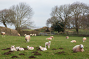 Welsh lambs on the outskirts of Bethesda. Energy Local Bethesda, North Wales. © Andy Aitchison / Ashden