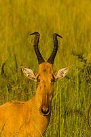 Jackson's Hartebeest, Murchison Falls National Park, Uganda.