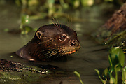Giant Otter<br />Pteronura brasiliensis<br />Pantanal. BRAZIL.  South America<br />RANGE; East of Andes, Colombia to N. Argentina