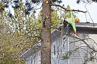 """Shawn Bennett, a certified arborist and operations manager for Grace Tree Service, reaches down to saw through a tree limb on a pine tree Wednesday while balancing on a branch at The Children's Village in Coeur d'Alene. Grace Tree Service began working with The Children's Village in 1998 and over the year's have occasionally provided their services for free as they did this year. """"As long as we're in business, we'll continue to take care of The Children's Village,"""" said Tim Kastning, with Grace Tree Service."""