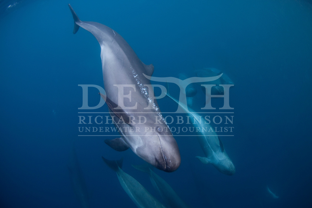 A pod of False-killer whales (Pseudorca crassidens) follows closely behind a pod of  Bottlenose dolphins (Tursiops truncatus) at the Poor Knights Islands Marine Reserve New Zealand..Tuesday 20 April 2010.Photograph Richard Robinson © 2010