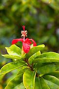 Hibiscus flower, Maui Nui Botanical Gardens, Kahului, Maui, Hawaii