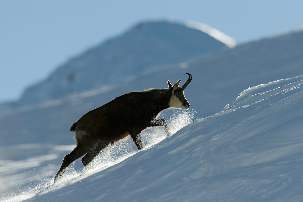 19.11.2008.Chamois (Rupicapra rupicapra). Walking in snow..Gran Paradiso National Park, Italy