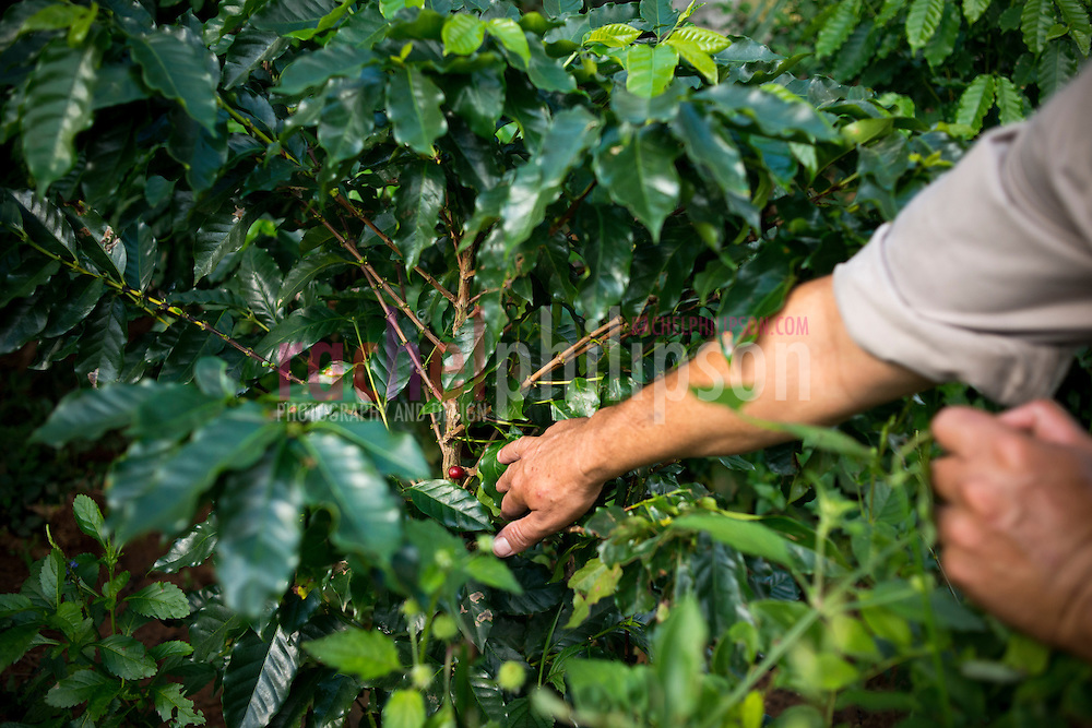 Cuba, Viñales, landscape, coffee farm, coffee bean, out of season