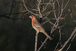 House Finch (Haemorhous mexicanus), Palo Alto Baylands, Palo Alto, California, United States of America