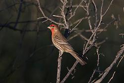 House Finch (Haemorhous mexicanus), Palo Alto Baylands, Palo Alto, California, United States of America