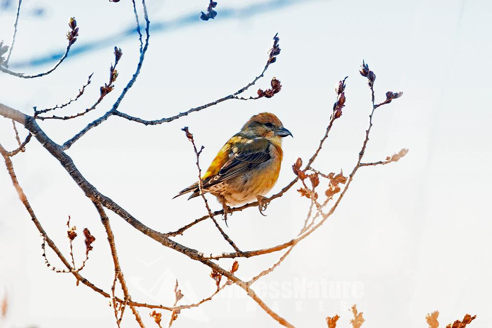 An immature male Red Crossbill perches in a tree rests across from a grove of pine trees.