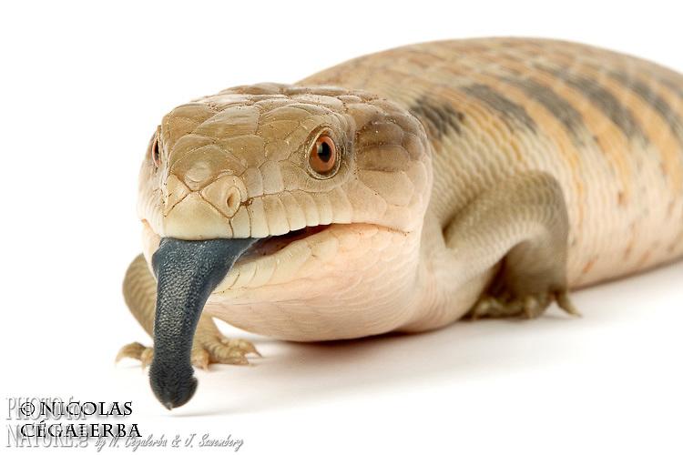 Le scinque à langue bleue, Tiliqua gigas