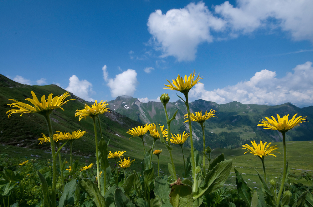 Arnica; Arnica montana, area around Grauspitz, Lichtenstein