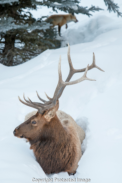 A Rocky Mountain Elk (Cervus elaphus nelsoni) bull lies in deep snow while a fox walks behind him.