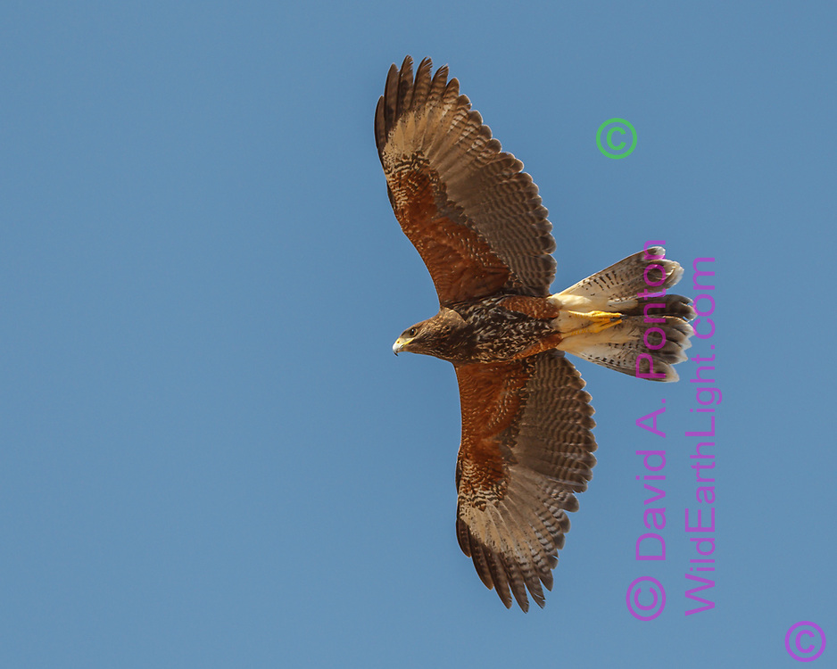 "Juvenile Harris's hawk in overhead flight showing the broad wings with the characteristic shape of the trailing edge that led to the early name for the species, ""Bay-winged Hawk.""  © 2011 David A. Ponton"