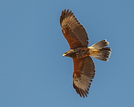 """Juvenile Harris's hawk in overhead flight showing the broad wings with the characteristic shape of the trailing edge that led to the early name for the species, """"Bay-winged Hawk.""""  © 2011 David A. Ponton"""