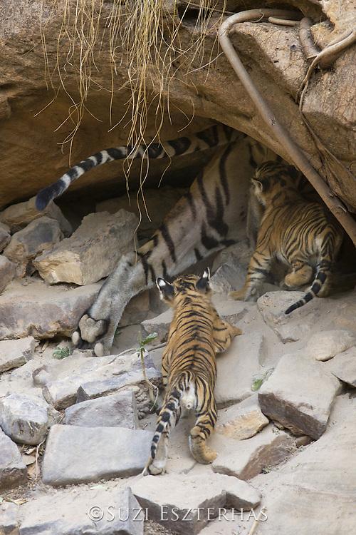 Bengal Tiger<br /> Panthera tigris <br /> Mother and four week old cubs entering den <br /> Bandhavgarh National Park, India