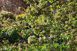 Malus × zumi 'Golden Hornet'  in blossom at Glebe Cottage - crab apple