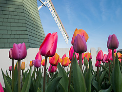 North America, United States, Washington, Mount Vernon, tulips and windmill at annual Skagit Valley Tulip Festival, held in April