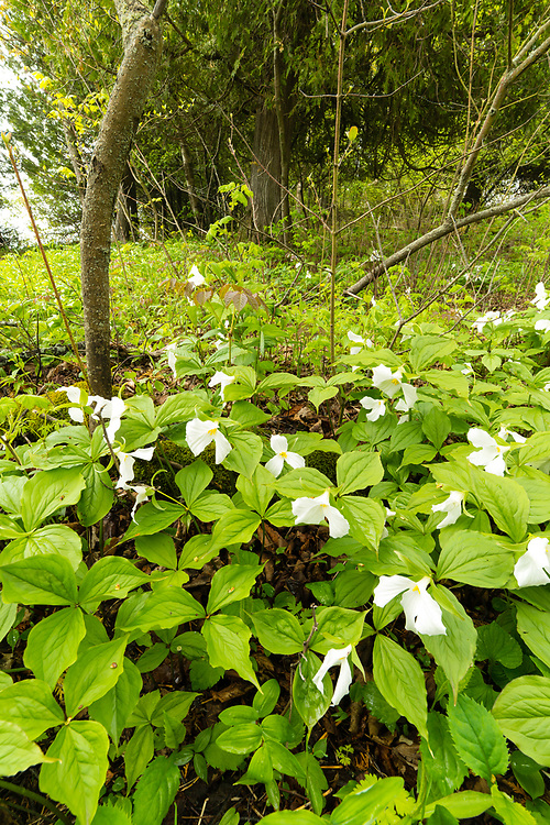 Trillium in bloom, Cave Point County Park, Door County, Wisconsin.