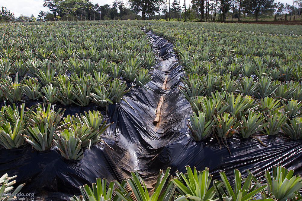 Overview of the organic pineapple fields of Ricardo Rodríguez Blando, 58, from Katira. Mr. Rodríguez has been a small producer associated with AGRONORTE since 2007. His production is mainly organic as he is very concerned of developing sustainable environment-friendly crops. AGRONORTE exports pineapples, or ananas, certified by the Fairtrade Labelling Organization (FLO). Katira, San Rafael Guatuso, Alajuela, Costa Rica. January 29, 2014.