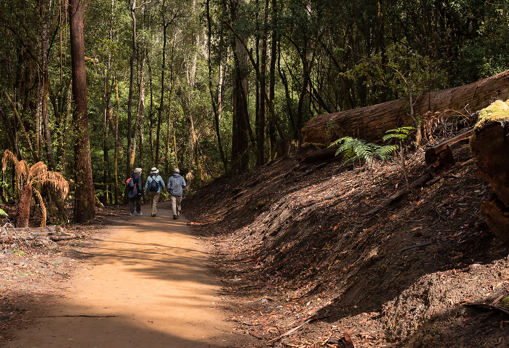 Mount Field National Park, Tasmania, Australia--February 15, 2018.  Hikers on a trail in the Tasmanian rain forest. Editorial Use Only.