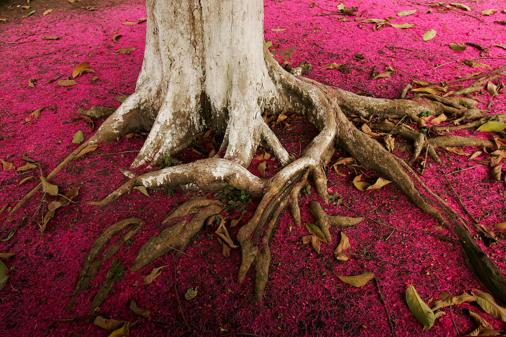 July 28, 2005. Purple flowers of the Jambo tree in Bellterra, Para State, Brazil. ©Daniel Beltra
