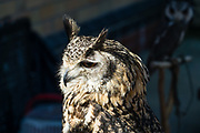 A Bengal eagle owl male named Elmo is shown at the Owl Sanctuary hands-on experience, at the preserved 1869 Haverthwaite railway station on Lakeside & Haverthwaite Railway, in Lake District National Park, Cumbria, England, United Kingdom, Europe. The Bengal eagle-owl (Bubo bengalensis) is a large horned owl with large head tufts, native to the Indian Subcontinent. They are splashed with brown and grey, and have a white throat patch with small black stripes. Photographed on day 1 of 14 of our England Coast to Coast hiking tour with Wilderness Travel.  [This image, commissioned by Wilderness Travel, is not available to any other agency providing group travel in the UK, but may otherwise be licensable from Tom Dempsey – please inquire at PhotoSeek.com.]