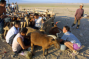 GOBI DESERT, MONGOLIA..08/30/2001.Tsagan Bulag, gers belonging to the family of 15-year-old Urna, winner of a gold medal in an English language school competition..Milking 160 goats, twice daily..(Photo by Heimo Aga).