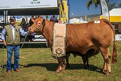 Grande Campeã da raça Limousin na 38ª Expointer, que ocorrerá entre 29 de agosto e 06 de setembro de 2015 no Parque de Exposições Assis Brasil, em Esteio. FOTO: Vilmar da Rosa/ Agência Preview