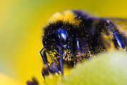 Bumblebee (Bombus hortorum) covered in pollen, New Zealand.  There are four species of bumblebees introduced into New Zealand to pollinate clover for the agricultural industry.