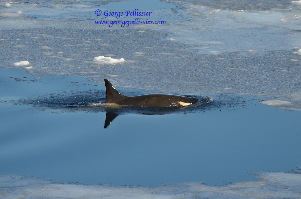 A female Orca (Orcinus orca) swims in McMurdo Sound, Antarctica.